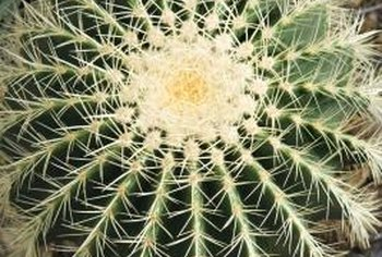 The barrel cactus is also known as mother-in-law's cushion.