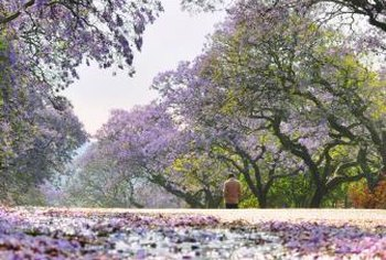 Jacarandas are large, wide-canopied shade trees.