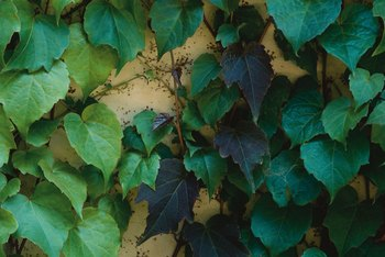 Many ivies can be identified by the shape of their leaves.