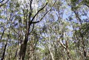 Eucalyptus are commonly called gum trees, but are not the only ones.