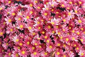 Asters are suitable for planting in flower beds or containers.
