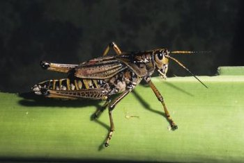 Grasshoppers vary widely in color, but generally resemble each other in shape.
