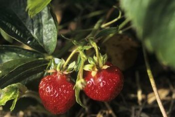 A well-cared for plant provides plenty of fresh strawberries.