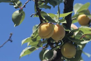 """Blenheim"" apricots require 400 chilling hours before they produce fruit."