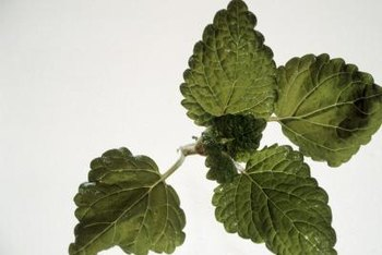Pruning provides an ongoing harvest of fresh lemon balm leaves.