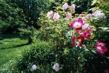 Some roses survive -40°F and others can withstand temperatures above 100°F.