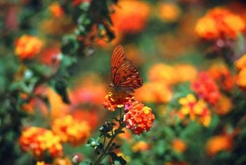 Dwarf lantana blooms throughout the growing season, attracting myriads of butterflies.