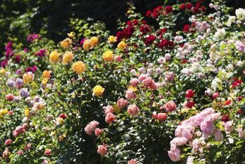 In hot, dry weather, roses may need watering twice a week.