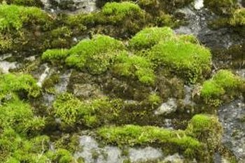 Scotch moss displays tiny white flowers in spring and early summer.