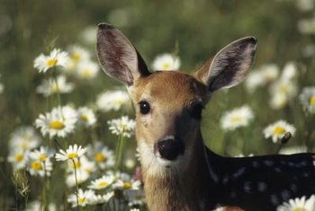 Although they look innocent, deer can damage your garden.