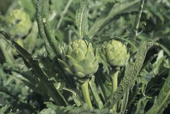 Artichoke plants are easiest to identify after buds form.