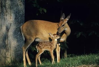 Hungry deer might damage -- but probably won't kill -- your pine trees.