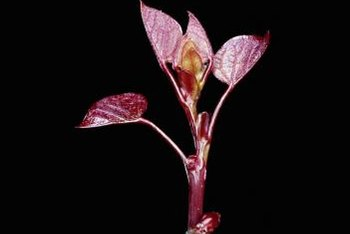 The forest pansy redbud tree has heart-shaped leaves.