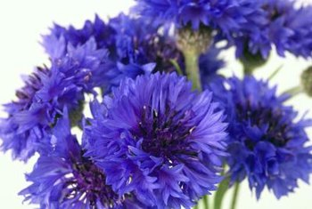 Cornflowers are known for their blue flowers.