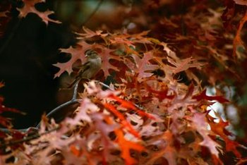 Wooly aphids' waxy secretions can ruin an oak's colorful fall leaves.