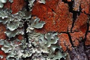 A 3-inch-wide lichen body can be hundreds of years old.