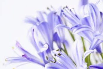 Graceful and elegant, agapanthus blooms in summer and fall.