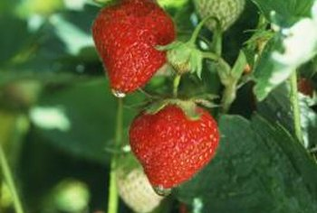 Ever-bearing strawberries produce flowers and fruit year round.