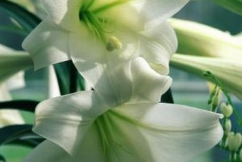 New lily cultivars are produced from seeds.