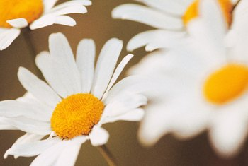 Shasta daisies often bloom from spring until autumn.