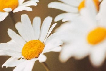 Shasta daisy is a shrublike plant growing up to 4 feet tall.