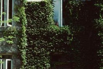 Quaint-looking ivy hides more than a bad paint job.