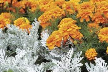 Dusty miller's silvery foliage complements bright marigolds.