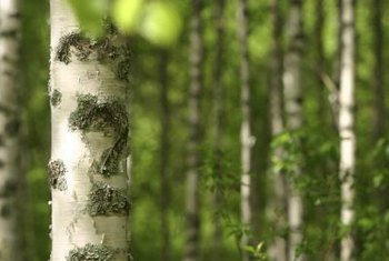 Birch trees are susceptible to a number of pests and diseases.