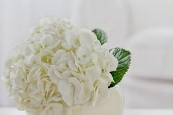 Both hydrangeas and viburnums can have big, snowball-like flower heads