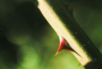Thorny bushes require regular pruning for sustained health and vigor.