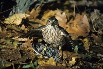 Acciperters are small hawks that can manuever easily in flight to prey on other birds.