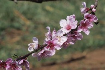 Weeping peach trees sport pink to red blossoms in early spring.