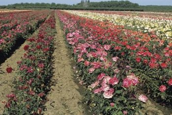 Roses are often grown commercially as row crops just like vegetables.