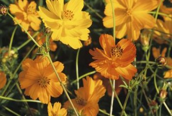 Golden cosmos brings brilliant color to the hottest, driest gardens.