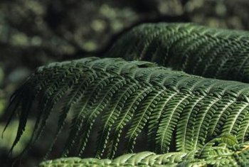 The hapu'u fern is indigenous to the Hawaiian islands.