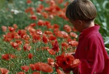 Poppies may reach heights of 4 feet.