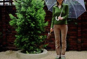 Little interference is needed to maintain the evergreen tree.