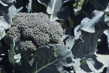 Broccoli is part of the cabbage family.