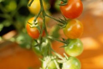 Small fruit tomato varieties are better suited for hanging baskets.