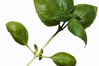 Grasshoppers can chew large holes in basil leaves -- or even consume entire plants.