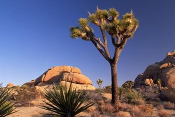 The tall, branched Joshua Tree is a good candidate for grafting.