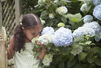 Depending on the soil pH, hydrangeas may be blue or pink.