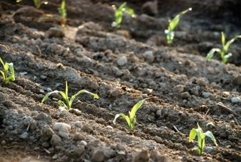 After germination, corn goes through the five-leaf stage.