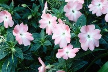 Vinca can overwinter in mild winters with minimal protection.
