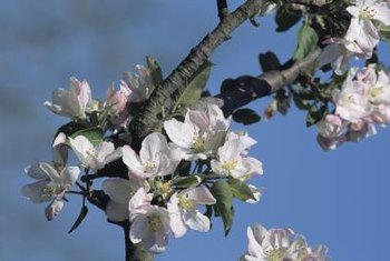 The only spray recommended for application during full apple bloom is a fungicide to address scab.