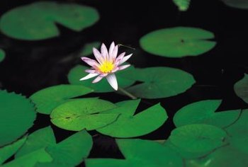 Lotus leaves can float serenely on the surface.