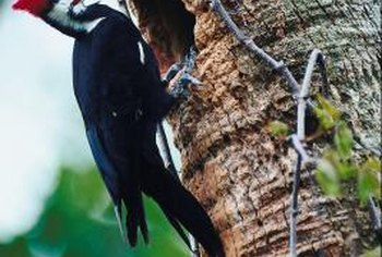 Woodpeckers feed on insects, nuts and tree sap.