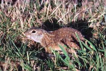 Ground squirrels are major pests in some gardens.