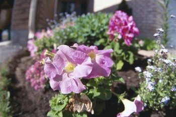 Petunias are perennials but are commonly grown in annual flowerbeds and hanging baskets.