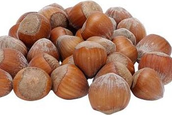 Commercial species of hazelnut produce larger fruits than Corylus americana.